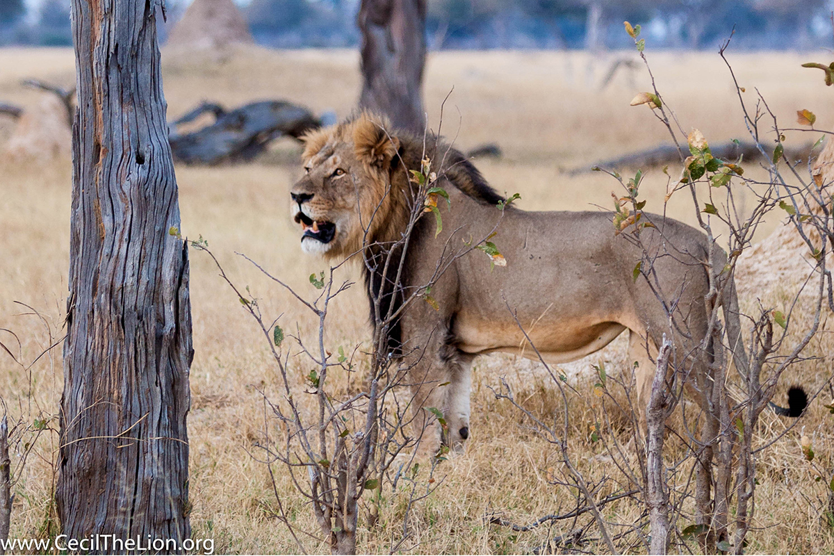 Unforgettable Zimbabwe Safari - Exclusive Adventures - Cecil the Lion