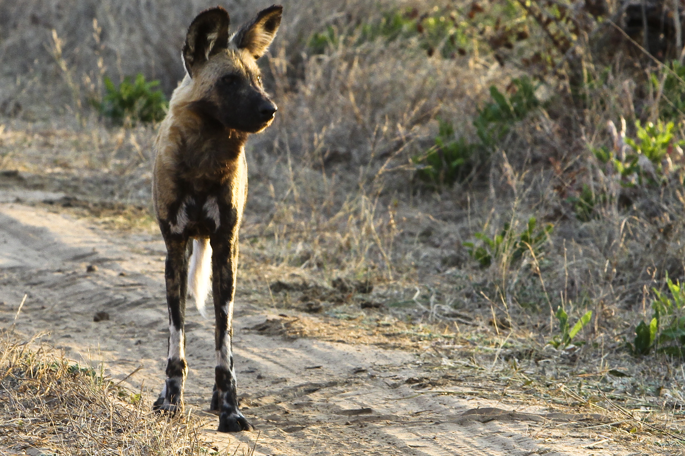 Unforgettable Zimbabwe Safari - Exclusive Adventures - Painted Dog